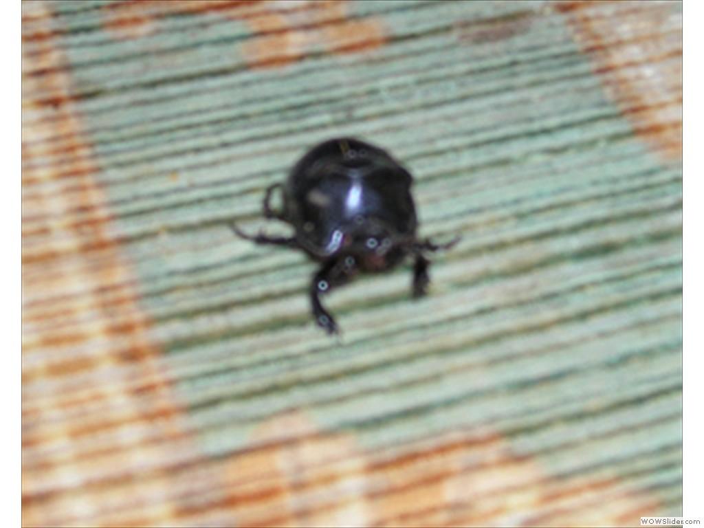 Mulanje Bug1018