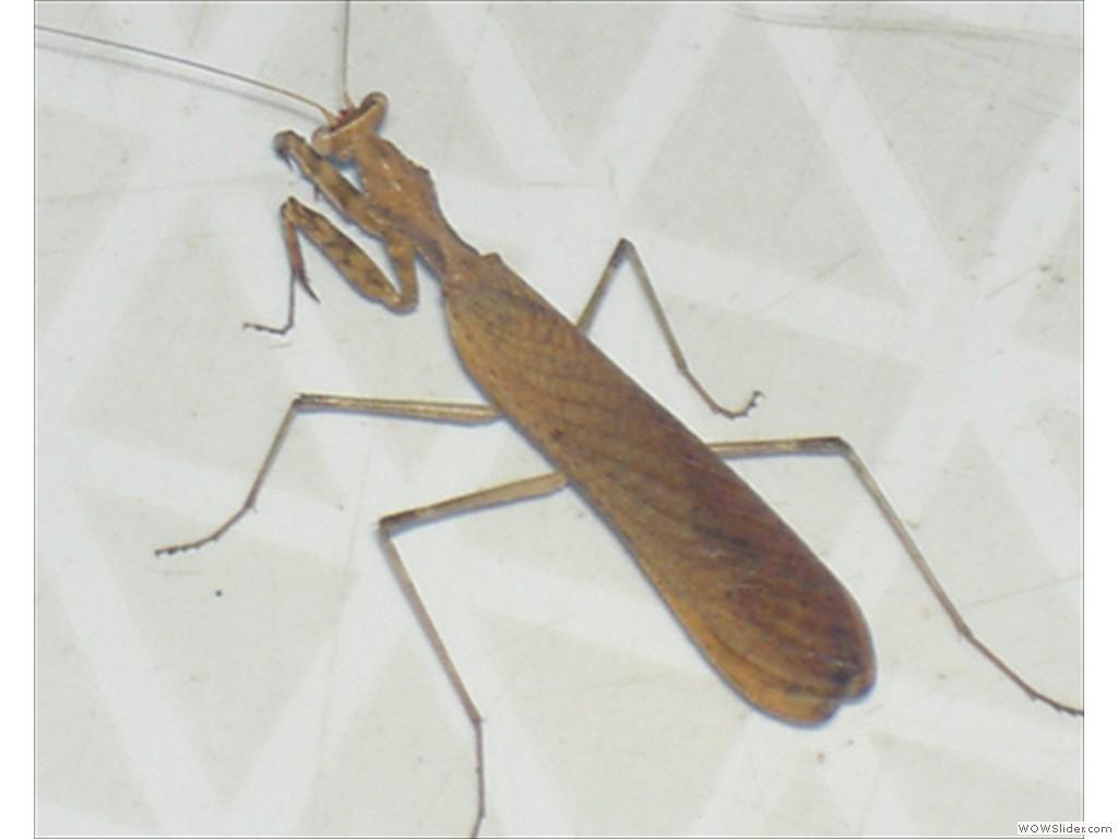 Mulanje Bug1020